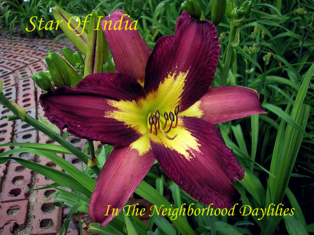 Star Of India  (Roberts, P., 1992)-Daylily;Daylilies;CLICK ON IMAGE TO ENLARGE;Daylily Star Of India;P.Roberts Daylily;Lilac Purple w' Yellow Cream Eye Daylily;Daylily Picture;Perennial;Award Winning Daylily;Early Midseason Daylily;Reblooming Daylilies