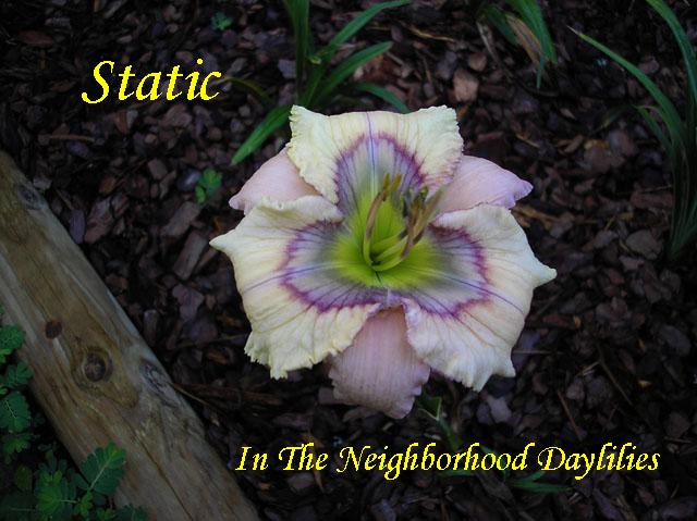 Static  (Stamile,  2006)-Daylily;Daylilies;Daylillies;Daylily Static;2006 Stamile Daylily;Orchid w' Multicolored Eye Daylily;Reblooming Daylilies;