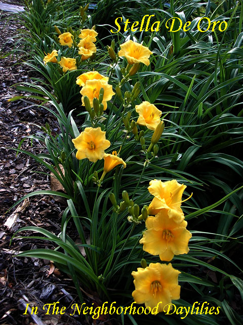 Stella De Oro   (Jablonski, 1975)  Four Fans-Daylily Stella De Oro;Jablonski Daylily;Gold w' Small Green Throat Daylily;Daylily Picture;Perennial;Award Winning Daylily;Fragrant Daylilies;Early Midseason Daylily;Reblooming Daylilies;Dormant Daylily