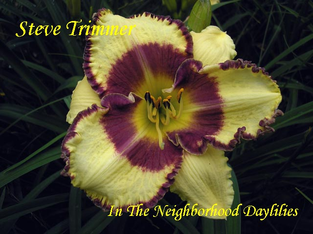 Steve Trimmer  (Trimmer, 1999)-Daylily;Daylilies;CLICK ON IMAGE TO ENLARGE;Daylily Steve Trimmer;Trimmer 1999 Daylily;Yellow w' Plum Eye & Edge Daylily;Daylily Picture;Perennial;Award Winning Daylily;Early Midseason Daylily;Reblooming Daylilies