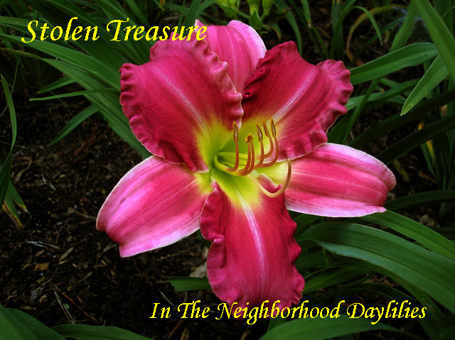 Stolen Treasure  (Dougherty, 1996)-Daylily Stolen Treasure;Dougherty Daylily;Pink Bitone w' Cream Border Daylily;Daylily Picture;Perennial;Award Winning Daylily;Early Midseason Daylily;Dormant Daylily