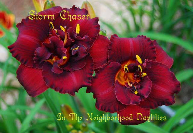 Storm Chaser   (Joiner, 2002)-Daylily;Daylilies;Daylillies;CLICK PICTURE TO ENLARGE;Daylily Storm Chaser;Joiner 2002 Daylily;Dark Red Self Daylily;Double Daylily;Daylily Picture;Perennial;Midseason Daylily;Reblooming Daylilies