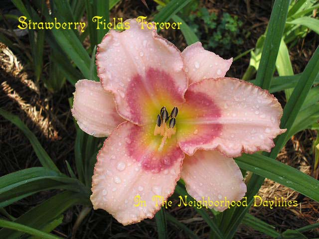 Strawberry Fields Forever  (Stamile,  1997)-Daylily;Daylilies;CLICK ON IMAGE TO ENLARGE;Strawberry Fields Forever Daylily;Stamile 1997 Daylily;Pink w' Strawberry Rose Eye & Edge Daylily;Award Winning Daylily;Reblooming Daylilies