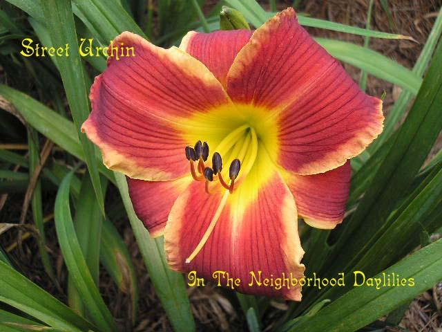 Street Urchin   (Kirchhoff, D., 1992)-Daylily Street Urchin;D.Kirchhoff Daylily;Bright Red w' Wider Almond Edge Daylily;Daylily Picture;Perennial;Award Winning Daylily;Affordable Daylilies;Midseason Daylily;Reblooming Daylilies