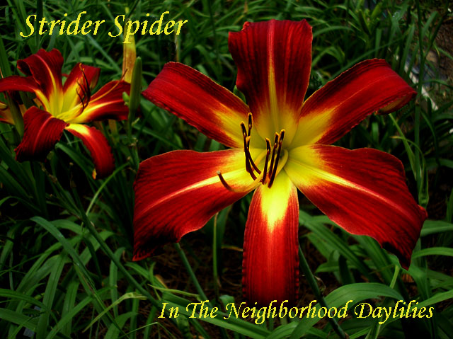 Strider Spider  Durio,  1998-Daylily;Daylilies;Strider Spider;Durio 1998 Daylily;Red Self w' Green Throat Daylily;Reblooming Daylilies;Extended Bloom Time Daylily