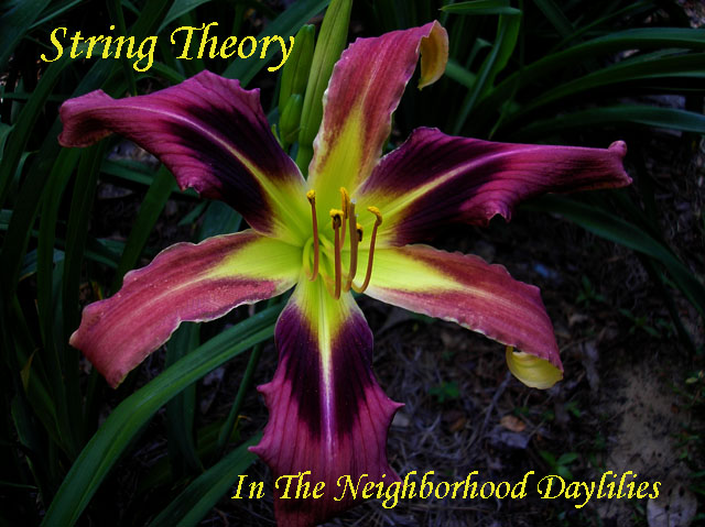 String Theory  (Trimmer, J., 2005)-Daylily;Daylilies;Daylillies;CLICK ON IMAGE TO ENLARGE;Daylily String Theory;J. Trimmer Daylily;2005 Daylily;Award Winning Daylily;Reblooming Daylilies;Early to Midseason Daylilies;Tall daylily