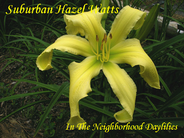 Suburban Hazel Watts   (Watts,  2011)-CLICK ON IMAGE TO ENLARGE;Daylily;Daylilies;Daylillies;Suburban Hazel Watts Daylily;Watts 2011 Daylily;Bright Yellow Self w' Bright Green Throat Daylily;Reblooming Daylilies;Unusual Form Daylily