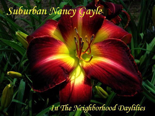 Suburban Nancy Gayle  (Watts,  2004)-Daylily;Daylilies;Daylillies;Daylily Suburban Nancy Gayle;Watts 2004 Daylily;Award Winning Daylily;Red Self Daylily;Reblooming Daylilies