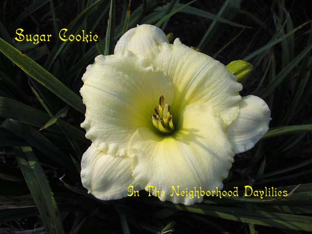 Sugar Cookie   (Apps, 1983)-Daylily;Daylilies;CLICK ON IMAGE TO ENLARGE;Daylily Sugar Cookie;Apps Daylily;Cream Self Daylily;Daylily Picture;Perennial;Award Winning Daylily;Affordable Daylilies;Fragrant Daylilies;Early Midseason Daylily