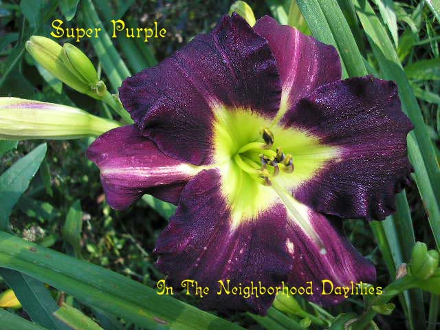 Super Purple  (Dove, 1979)-Daylily;Daylilies;CLICK ON IMAGE TO ENLARGE;Daylily Super Purple;Dove Daylily;Purple Self Daylily;Daylily Picture;Perennial;Award Winning Daylily;Affordable Daylily;Fragrant Daylilies;Midseason Daylily;Reblooming Daylilies