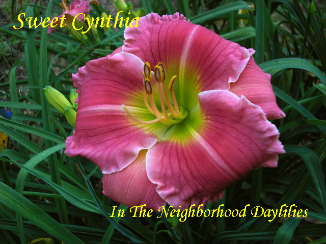 Sweet Cynthia   (Netherton,  2005)-Daylily;Daylilies;Daylillies;Daylily Sweet Cynthia;2005 Netherton Daylily;Reblooming Daylilies;Fragrant Daylilies;Dark Bright Pink Blend Daylily