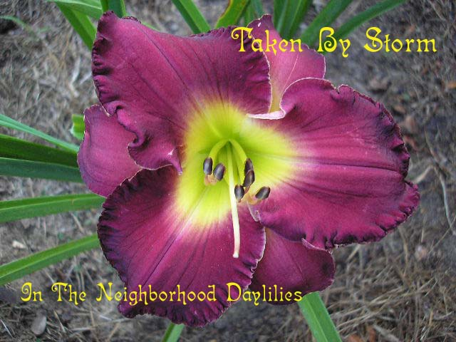 Taken By Storm  (Salter, 1993)-Daylily Taken By Storm;Salter Daylily;Purple Self Daylily;Daylily Picture;Perennial;Award Winning Daylily;Affordable Daylilies;Midseason Daylily;Reblooming Daylilies
