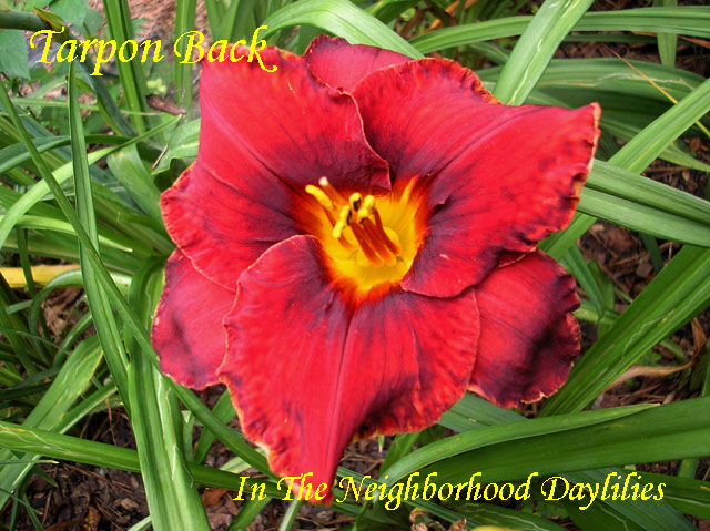 Tarpon Back  (Baker, C.,   2003)-Daylily;Daylilies Day Lily;Daylillies;;CLICK ON IMAGE TO ENLARGE;Tarpon Back Daylily;C. Baker 2003 Daylily;Red w' Black Band Daylily;Reblooming Daylilies;Semi-evergreen Daylily
