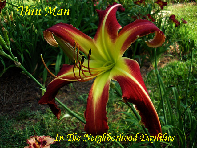 Thin Man (Trimmer,  2002)-Daylily;Daylilies;CLICK PICTURE;Thin Man Daylily;Trimmer 2002 Daylily;Multiple Award Winning Daylily;Reblooming Daylilies;Unusual Form Daylily;Twelve Inch Flowers Daylily;Red Daylily w' Lemon Green Throat Daylily