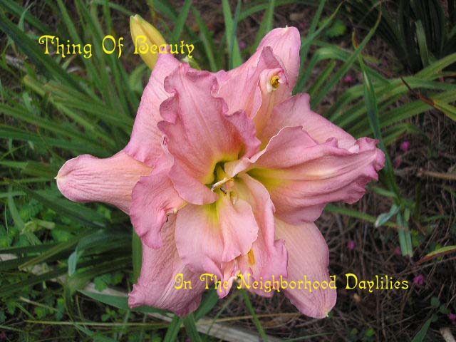 Thing Of Beauty  (Terry, 1993)-Daylily Thing Of Beauty;Terry Daylily;Lavender Pink Self w' Green Throat Daylily;Double Daylily;Daylily Picture;Perennial;Reblooming Daylily