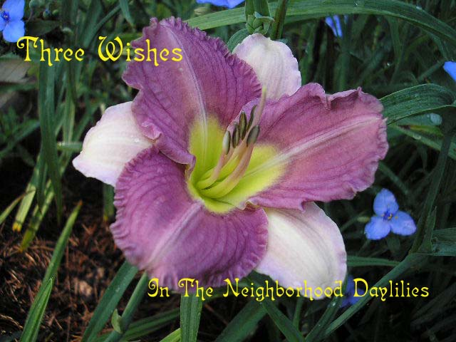 Three Wishes Three Fans (Threewitts, 1989)-Daylily Three Wishes;Threewitts Daylily;Lavender Cream Bitone Daylily;Daylily Picture;Perennial;Fragrant Daylilies;Affordable Daylilies;Reblooming Daylilies