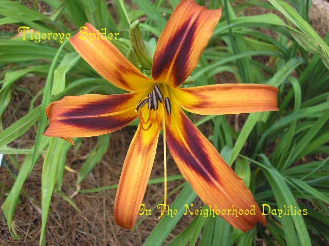 Tigereye Spider Reed, 1994-Daylily Tigereye Spider;Reed Daylily;Bronze Orange w' Black Orange Chevron Eye Daylily;Spider Daylily;Daylily Picture;Perennials;Award Winning Daylily;Reblooming Daylilies;Dormant Daylily