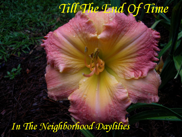 Till The End Of Time  (Carpenter, J.,  2005)-Daylily;Daylilies;Daylily Till The End Of Time;J. Carpenter 2005 Daylily;Pink w' Cream White Watermark Daylily;Fragrant Daylilies;Reblooming Daylilies;Semi-Evergreen Daylily