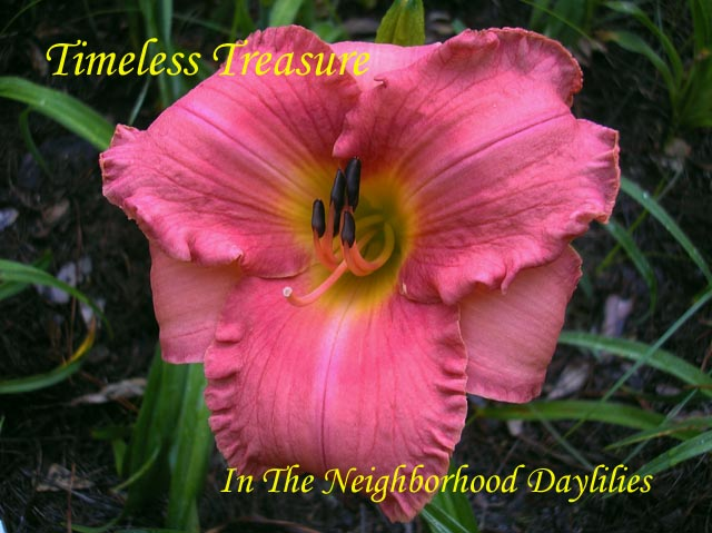 Timeless Treasure   (Kirchhoff, D., 1988)-Daylily Timeless Treasure;D.Kirchhoff Daylily;Coral Rose Self w' Yellow Band Daylily;Daylily Picture;Perennials;Affordable Daylilies;Early Midseason Daylily;Reblooming Daylilies
