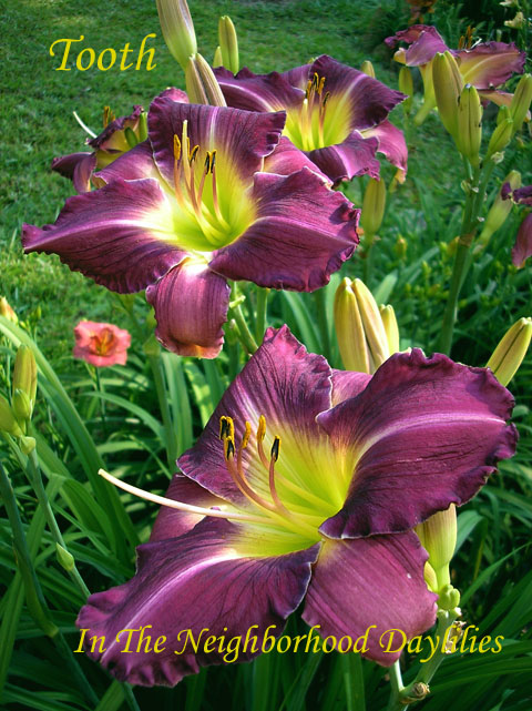 Tooth   (Hansen, D., 2000)-Daylily Tooth;D.Hansen Daylily;Purple w' Lilac Halo & White Tooth Edge Daylily;Daylily Picture;Perennials;Award Winning Daylily;Affordable Daylilies;Reblooming Daylilies