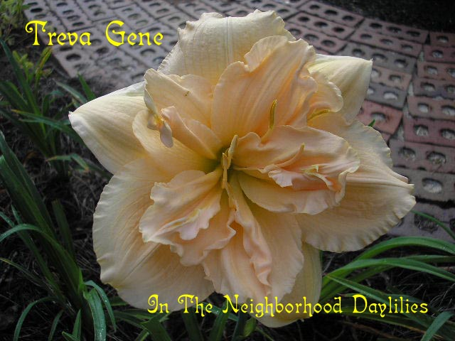 Treva Gene  (Eller, N.,  2005)-Daylily;Daylilies;Daylillies;CLICK ON IMAGE TO ENLARGE;Daylily Treva Gene;2005 N.Eller Daylily;Cream Self Daylily;Double Daylily;Reblooming Daylilies;Fragrant Daylilies