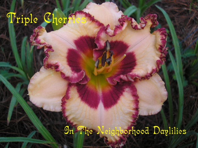 Triple Cherries   (Petit, T., 2005)-Daylily;Daylilies;CLICK ON IMAGE TO ENLARGE;Daylily Triple Cherries;T.Petit Daylily;Peach Pink w' Cherry Red Eye & Edge Daylily;Daylily Picture;Perennials;Midseason Daylily;Reblooming Daylilies