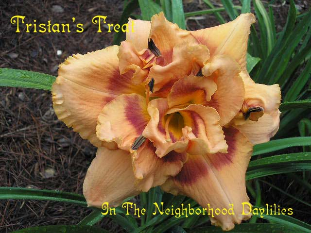 Tristan's Treat   (Netherton, J., 2004)-Daylily Tristan's Treat;J.Netherton Daylily;Peach w' Wine Red Eye Daylily; Double Daylily;Daylily Picture;Perennials;Fragrant Daylilies;Early Midseason Daylily;Reblooming Daylilies