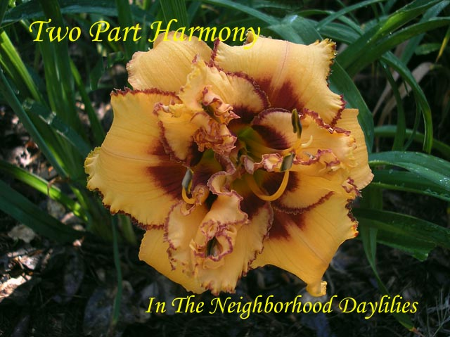 Two Part Harmony  (Kaskel & Trimmer, 1996)-Daylily Two Part Harmony;Kaskel & Trimmer Daylily;Straw Yellow w' Wine Red Eye Daylily;Double Daylily;Daylily Picture;Perennials;Award Winning Daylily;Affordable Daylilies;Early Season Daylily