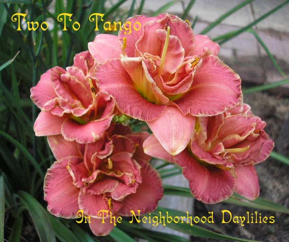 Two to Tango  (Stamile, G., 1996)-Daylily Two To Tango;G.Stamile Daylily;Salmon Rose Blend Daylily;Double Daylily;Daylily Picture;Perennials;Award Winning Daylily;Affordable Daylilies;Reblooming Daylilies