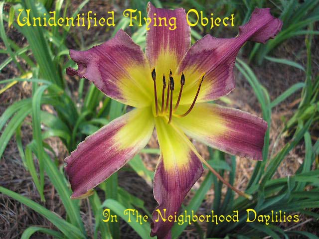 Unidentified Flying Object Reed, 1997-Daylily Unidentified Flying Object;Reed Daylily;Grey Lavender w' Distinctive Purple Eye Daylily;Spider Daylily;Daylily Picture;Perennials;Award Winning Daylily;Affordable Daylilies;Early Midseason Daylily;Dormant Daylily