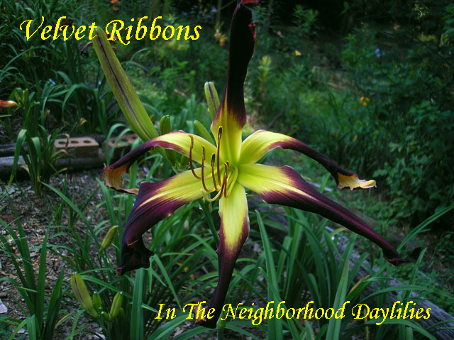 Velvet Ribbons  (Stamile,  2002)-Daylily;Daylilies;Daylillies;Velvet Ribbons Daylily;Stamile 2002 Daylily;Black Violet Blend w' Green Throat Daylily;Award Winning Daylily;Reblooming Daylilies;Spider Daylily;Fragrant Daylilies