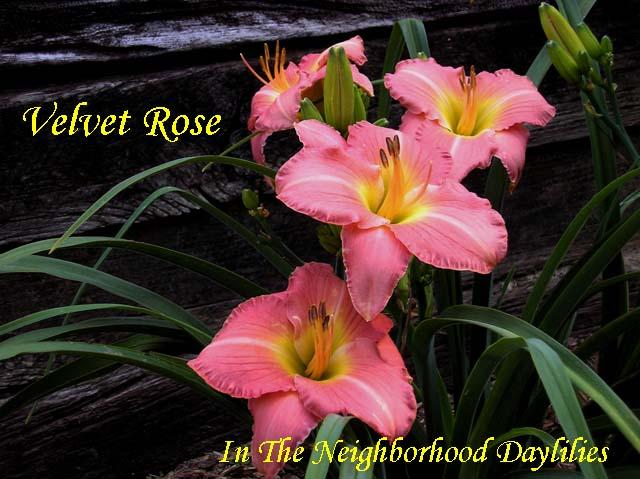 Velvet Rose  (Stamile, 1992)-Daylily Velvet Rose;Stamile Daylily;Rose Pink Self Daylily;Daylily Picture;Perennials;Early Midseason Daylily;Reblooming Daylilies