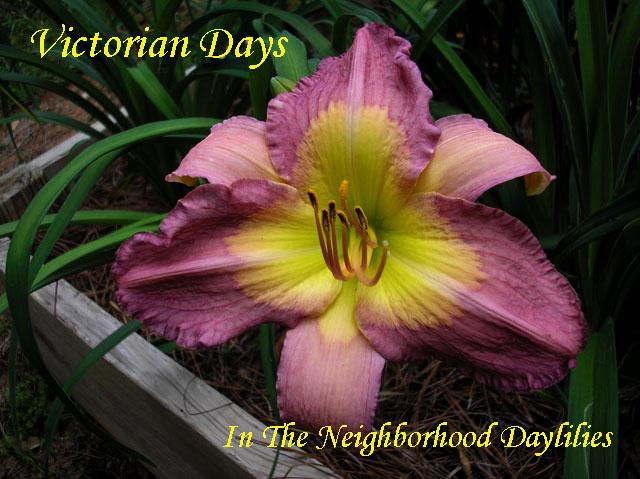 Victorian Days (Munson, R.W., 1992)-Daylily Victorian Days;R.W.Munson Daylily;Plum Russet Raisin Self w' Yellow Gold Edge Daylily;Daylily Picture;Perennials;Award Winning Daylily;Affordable Daylilies;Midseason Daylily;Reblooming Daylilies