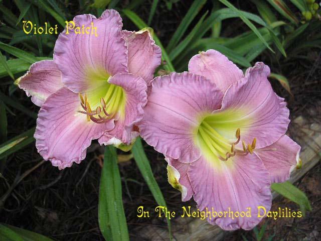 Violet Patch  (Spalding, W.,  1993)-Daylily;Daylilies;Violet Patch Daylily;W. Spalding 1993 Daylily;Extended Blooming Time Daylily;Very Green Throat Daylilies;