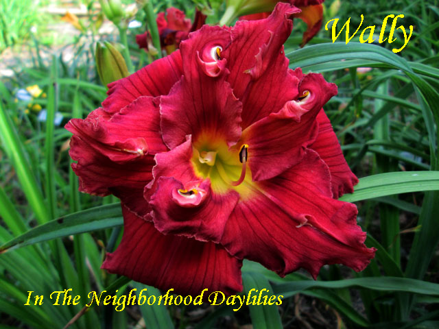 Wally  (Howard, T., 1991)-Daylily Wally;T.Howard Daylily;Cerise Red w' Dark Red Eye Daylily;Double Daylily;Daylily Picture;Perennials;Award Winning Daylily;Affordable Daylilies;Midseason Daylily