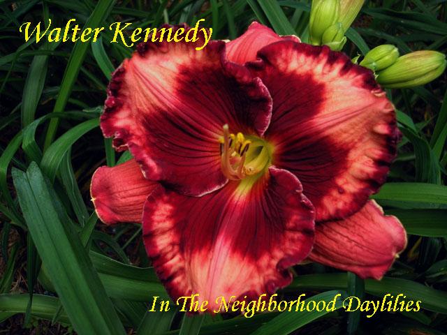 Walter Kennedy  (Stamile, 2008)-Daylily;Daylilies;Walter Kennedy Daylily;Stamile 2008 Daylily;Midseason Blooming Daylily;Reblooming Daylilies;Red w' Darker Red Eye & Edges Daylily