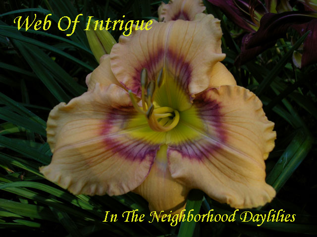 Web Of Intrigue  (Stamile, 1999)-Daylily Web Of Intrigue;Stamile Daylily;Pale Orange w' Etched Purple Eye & Edge Daylily;Daylily Picture;Perennials;Award Winning Daylily;Affordable Daylilies;Fragrant Daylilies;Extra Early Season Daylily;Reblooming Daylilies