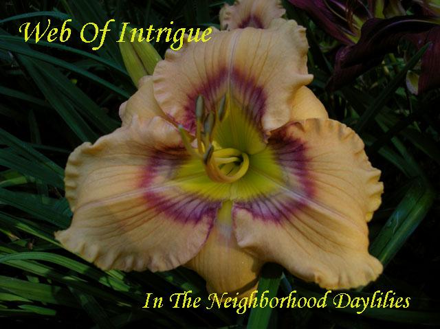 Web Of Intrigue  (Stamile, 1999)-Daylily Web Of Intrigue;Stamile Daylily;Pale Orange w' Etched Purple Eye & Edge Daylily;Daylily Picture;Perennials;Award Winning Daylily;Affordable Daylilies;Fragrant Daylilies;Extra Early Season Daylily;Reblooming Daylilies