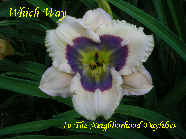 Which Way  (Stamile,  2005)-Daylily;Daylilies;Daylillies;CLICK ON IMAGE TO ENLARGE;Daylily Which Way;2005 Stamile Daylily;Cream w' Navy Eye & Fuchsia Patterned Band Above Olive Green Throat Daylily;Reblooming Daylilies;Very Fragrant Daylilies