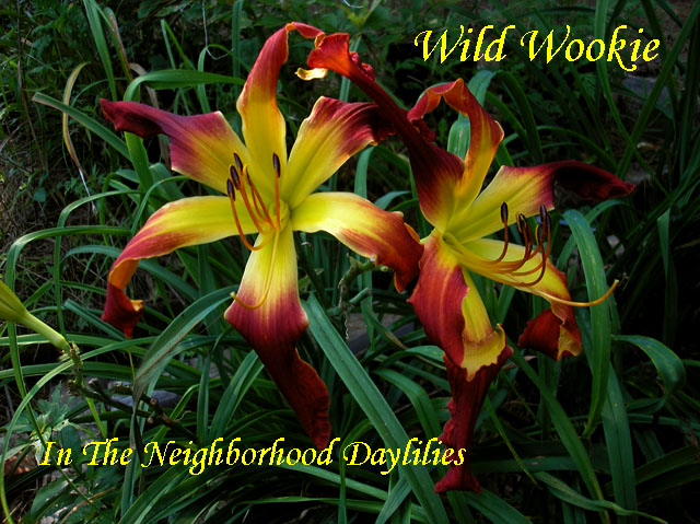 Wild Wookie  (Stamile,  2002)-Daylily;Daylilies;Daylillies;CLICK ON IMAGE TO ENLARGE;Daylily Wild Wookie;Stamile 2002 Daylily;Spider Daylily;Award Winning Daylily;Red Self w'large Yellow Green Throat Daylily;Reblooming Daylilies
