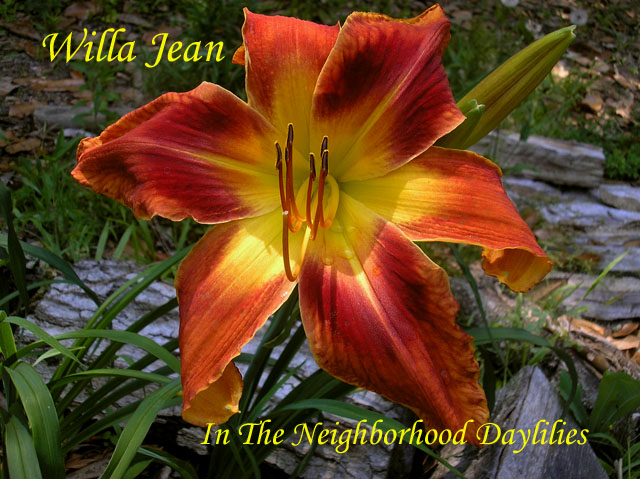 Willa Jean  (Netherton, J., 2005)-CLICK PICTURE;Daylily Willa Jean;J. Netherton Daylily;Extra Large Blooming Daylily;Unusual Form Daylily;Red Orange Blend w' Darker Red Eye Daylily;Evergreen Daylilies;Tetraploid Daylilies