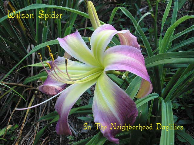 Wilson Spider  (Oakes, 1987)-Daylily Wilson Spider;Oakes Daylily;Purple w' White Eye Daylily;Spider Daylily;Daylily Picture;Perennials;Award Winning Daylily;Affordable Daylilies;Midseason Daylily;Dormant Daylily