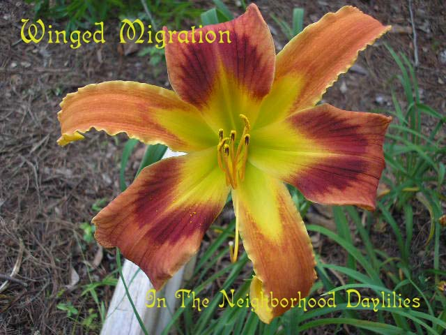 Winged Migration  (Lambertson, 2003)-Daylily Winged Migration;Lambertson Daylily;Medium Orange w' Red Orange Eye Daylily;Unusual Form Daylily;Daylily Picture;Perennials;Early Midseason Daylily;Reblooming Daylilies