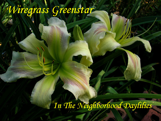 Wiregrass Greenstar  (Cooper, E., 1993)-Daylily;Daylilies;Daylily Wiregrass Greenstar;E.Cooper Daylily;Pale Lemon Yellow w' Lavender Eye Daylily;Daylily Picture;Perennials;Award Winning Daylily;Early Midseason Daylily;Extra Large Daylily'Evergreen Daylily