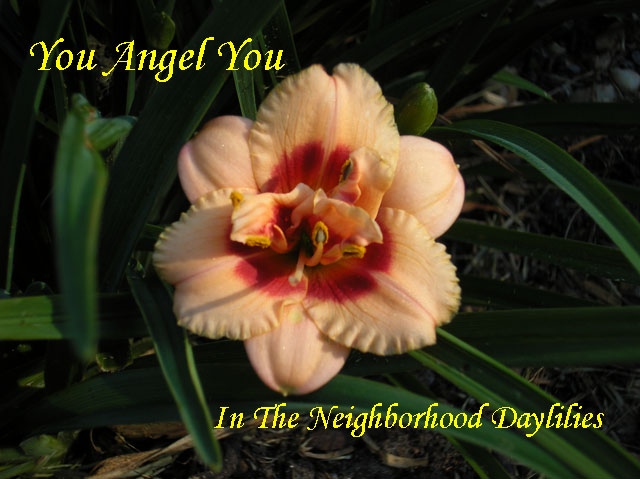 You Angel You  (Stamile, G., 1993)-Daylily You Angel You;G.Stamile 1993 Daylily;Cream w' Red Eye Daylily;Double Daylily;Daylily Picture;Perennials;Award Winning Daylily;Affordable Daylilies;Midseason Daylily;Reblooming Daylilies