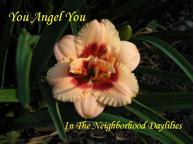 You Angel You  (Stamile, G., 1993)-Daylily You Angel You;G.Stamile 1993 Daylily;Cream w' Red Eye Daylily;Double Daylily;Daylily Picture;Perennials;Award Winning Daylily;Affordable Daylilies;Midseason Daylily;Reblooming Daylilies