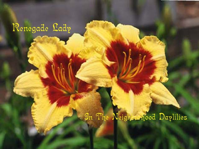 Renegade Lady  (Salter, E.H., 1990)-Daylily Renegade Lady;E.H.Salter Daylily;Yellow Gold w' Red Eye Daylily;Award Winning Daylily;Perennial;Affordable Daylilies;Mid To Late Season Daylily;Reblooming Daylilies;Diploid Daylily;Evergreen Daylily